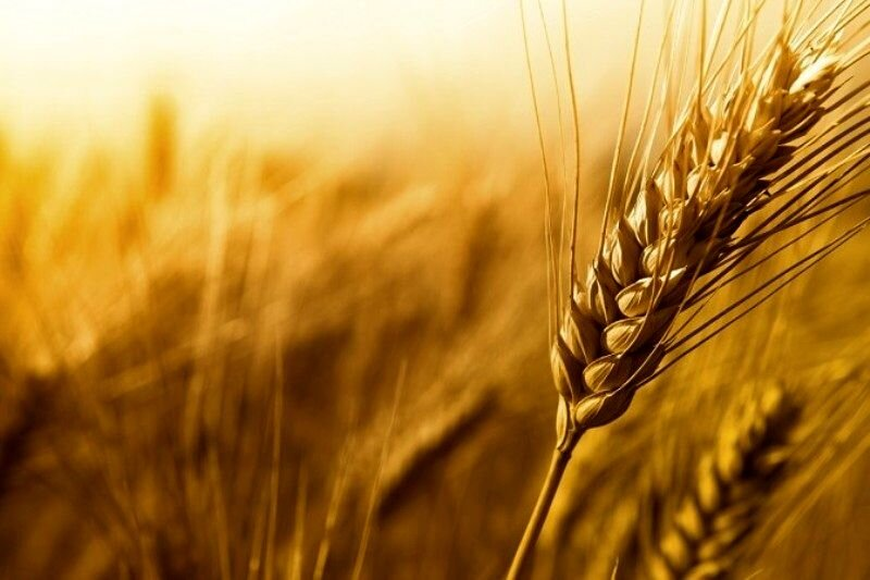 خطر شیوع بیماری زنگ زرد در مزارع گندم آبی استان بوشهر