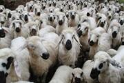 هویت گذاری یک میلیون  و ۸۳۴ هزار رأس دام در خراسان جنوبی