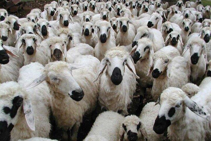فروش دام در مازندران
