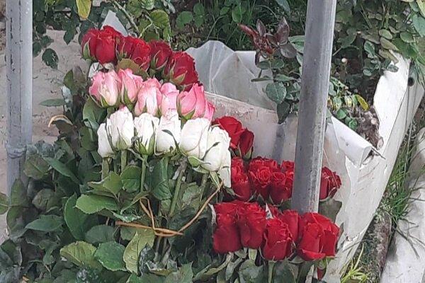 مجتمع گلخانهای «سینا رز» در همدان و صادرات گل های زینتی