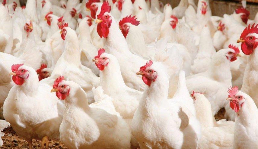 مشکلی از نظر میزان تولید مرغ در استان ایلام وجود ندارد