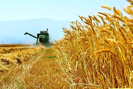 ۸۵ درصد گندم دیم کشور مکانیزه کشت می شود