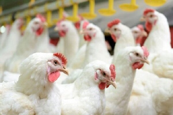 بالغ بر ۴۰ درصد مرغ سیستان و بلوچستان در استان تولید می شود/ لزوم ورود سرمایه گذاران