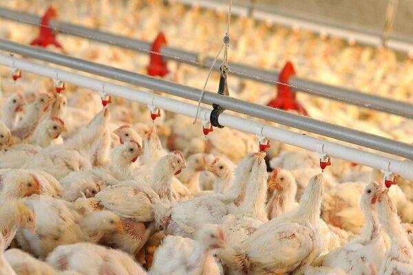 امتناع مرغداران خراسان شمالی از عرضه؛ ۷۰۰ تن مرغ آماده کشتار
