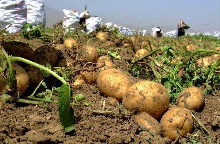 سیب زمینی بهاره در ۶۲۰۰ هکتار از اراضی بهار کشت شد
