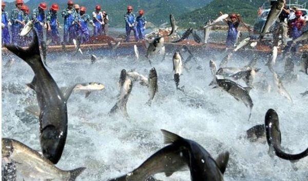 تولید ۳۰ کیلوگرم خاویار در اصفهان/ کمبود نهادهها قیمت ماهی را افزایش داد