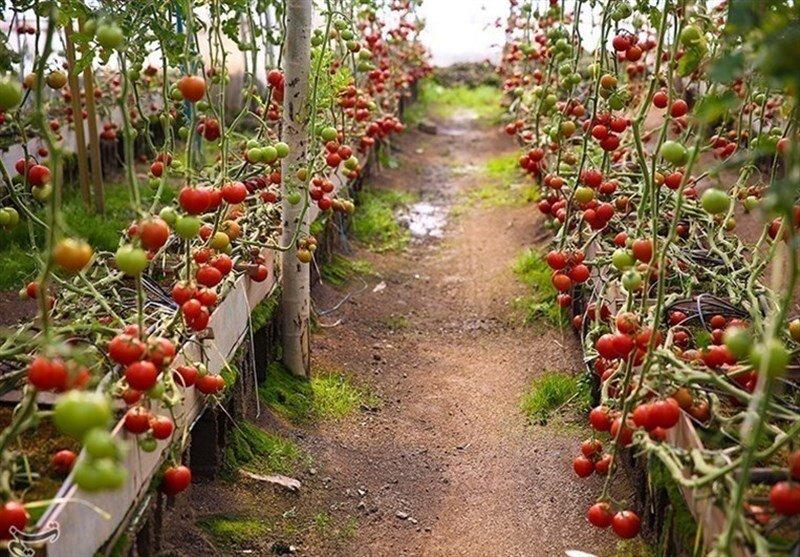 سالانه ۵۰ هزار تن محصولات گلخانه ای در آذربایجانشرقی تولید میشود