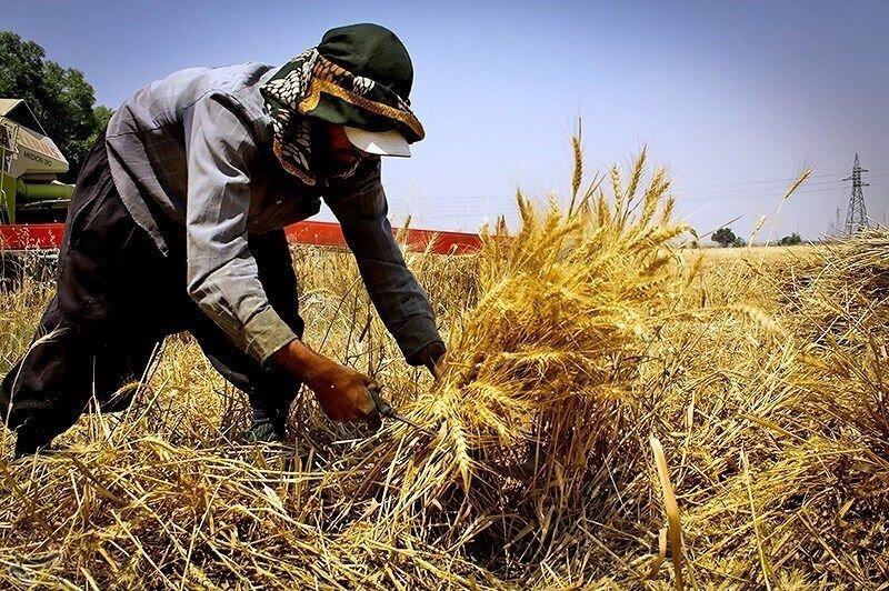 افزایش ۴۰درصدی خرید گندم در استان مرکزی/ ۲۲۳ میلیارد تومان مطالبات کشاورزان پرداخت شد