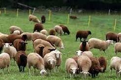 اصلاح نژاد دام؛ پرورش گوسفندهای شیری و گوشتی