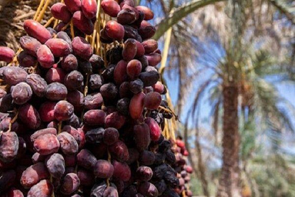 صادرات خرما ۳۰ درصد کاهش یافت