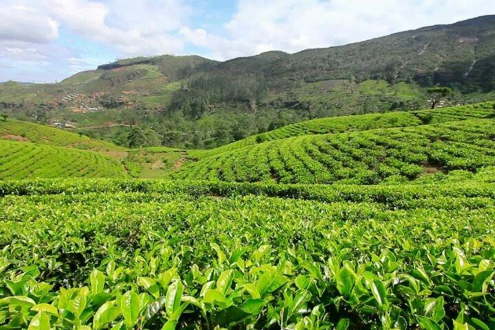 ۱۲۰ هزار تن برگ سبز چای خریداری شده است