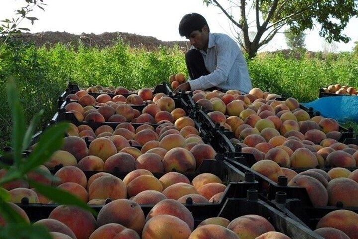 ۸۸۰ تن هلو از ۱۶۰ هکتار باغات طارم برداشت میشود