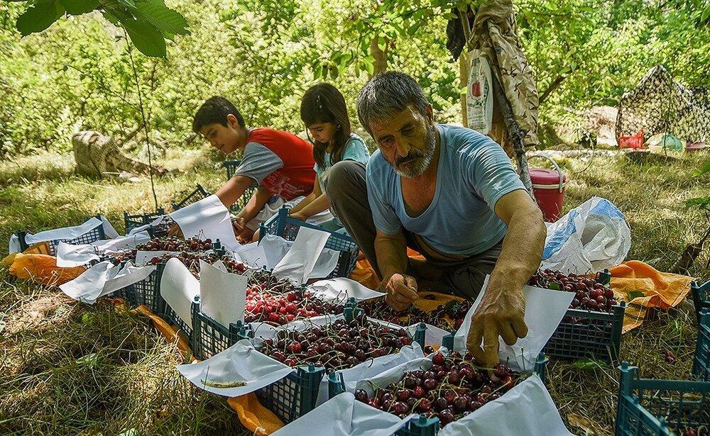 کاهش قدرت خرید میوه در بین مردم؛ فروشنده و مصرفکننده هر دو متضرر شدند