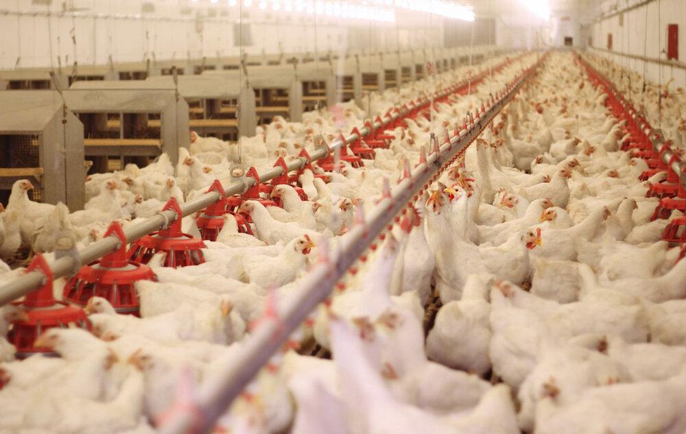 قیمت مرغ در خراسان شمالی همچنان ناهمگن؛ مرغداران اعتراض دارند