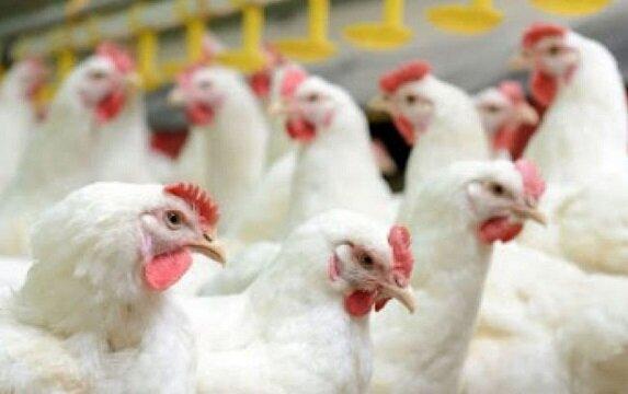 صدور فاکتور در حلقههای مختلف زنجیره تولید و توزیع مرغ الزامی است