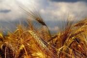 ۳۴ هزار تن گندم در چهارمحال و بختیاری خریداری شد