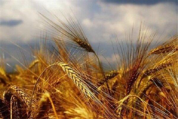 سه مرکز برای خرید گندم کشاورزان همدانی پیشبینی شده است