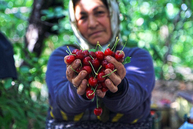 خشکسالی بلای جان باغات بام ایران؛ کم آبی و کاهش ۲۰ درصدی تولید میوه