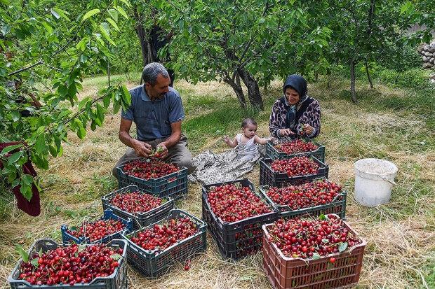 ۳۴۷ هزار تُن انواع میوههای دانهدار از باغات تهران برداشت شد