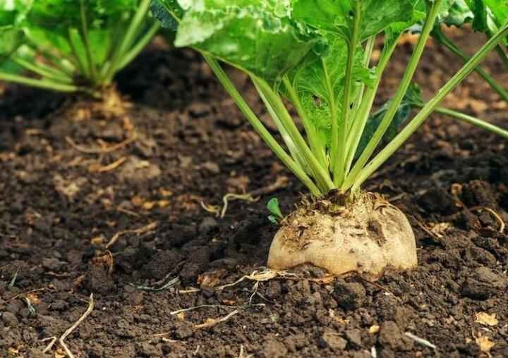 رشد ۳۹ درصدی کشت چغندرقند بهاره در سال زراعی جاری