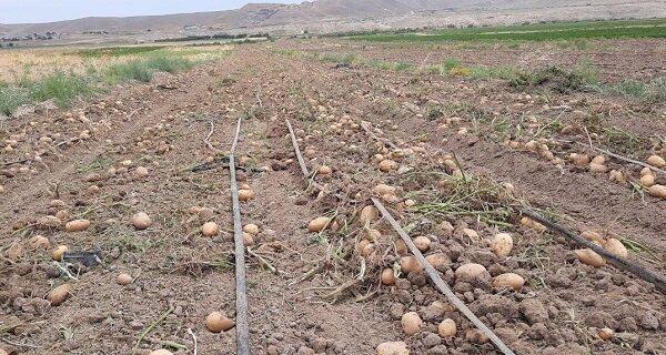 تولید ۱۰۰۰ تن سیبزمینی در شهرستان مرزی اصلاندوز مغان