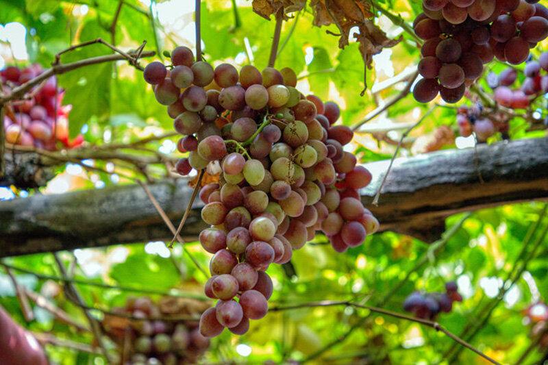 پیش بینی برداشت ۱۷ هزار تن انگور در قم/ خسارت تگرگ و آفت
