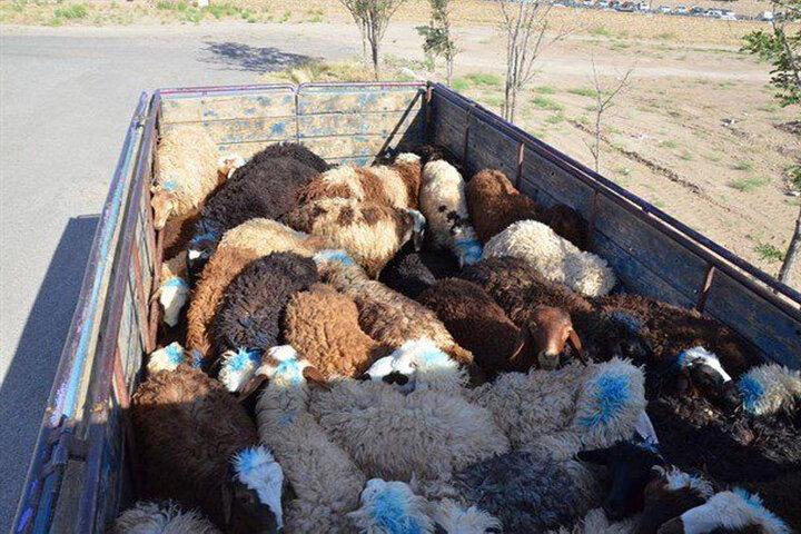 ۵ هزار راس دام قاچاق درخوزستان کشف شد