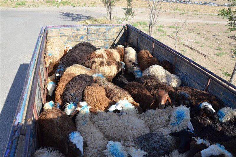 افزایش قاچاق دام از مرزهای غربی/ نرخ گوسفند زنده در بازار عراق ۲ برابر قیمت داخلی