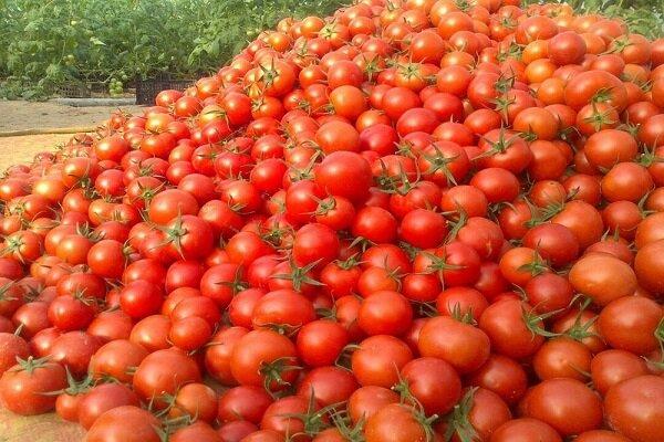آغاز برداشت گوجه فرنگی خارج از فصل در بوشهر