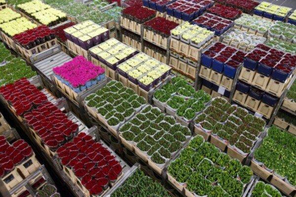 روند افزایشی صادرات محصولات گل و گیاهان دارویی، خوراکی، تزئینی و صنعتی