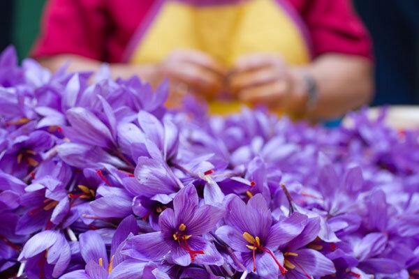 پیش بینی برداشت ۷۲ کیلوگرم زعفران از مزارع آذربایجان غربی