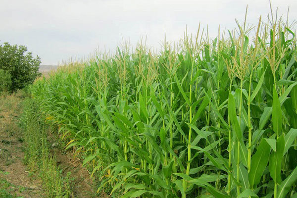 ۶۰۰ کشاورز یزدی در تولید محصول ذرت فعالیت میکنند