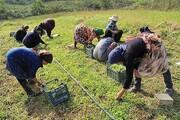 کشت گیاهان دارویی در ۳۰۰ هکتار از اراضی ملی قزوین پیش بینی شده است