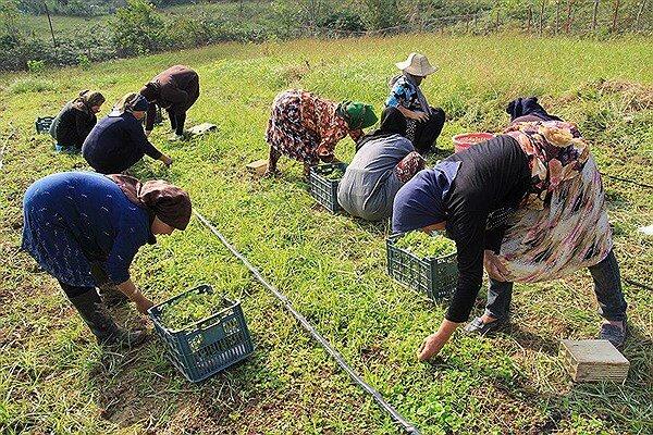 آفت کش های بی آفت| کشت ارگانیک مرهم کشاورزی کهگیلویه و بویراحمد می شود