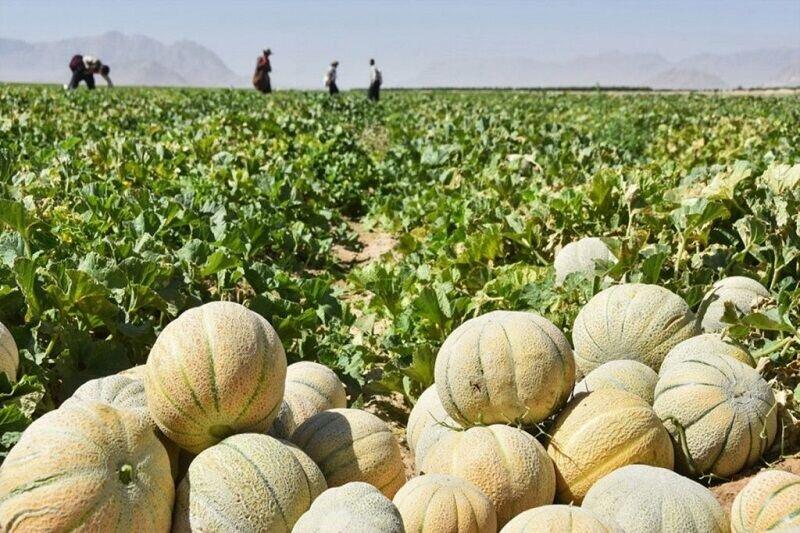 کشت طالبی در ۱۲۰۰ هکتار از زمینهای کشاورزی قم