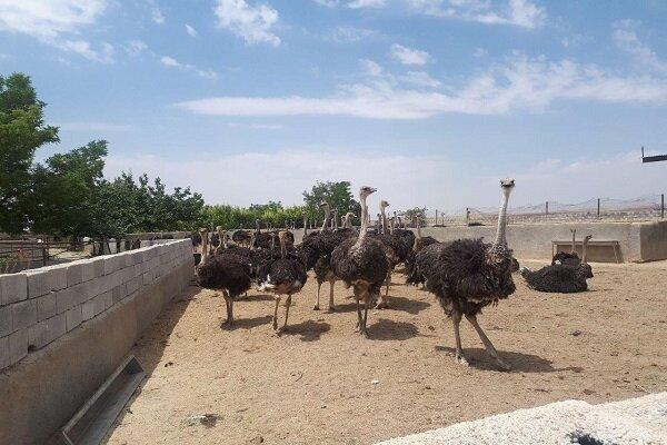 ظرفیت تولید گوشت شترمرغ در سیستان و بلوچستان به ٢٠٠ تن ارتقا یافت