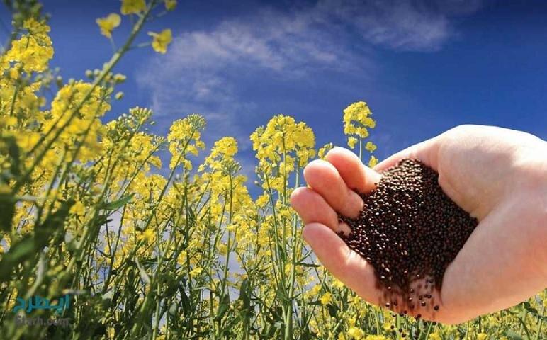 خام فروشی دانههای روغنی در دهلران/ کارخانه روغن کشی احداث نشد