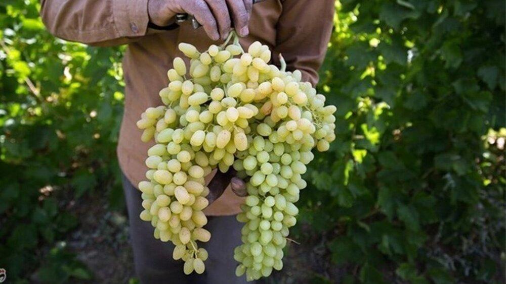 برداشت انگور از تاکستانهای ملایر