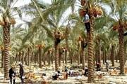 اجرای طرح تحول نخلستان در ۱۵ هزار هکتار از اراضی کشاورزی استان بوشهر