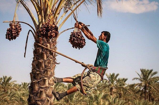 آغاز خرید تضمینی خرما در آبادان بعد از ۱۷ سال