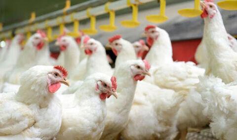 «مرغ آرین» اصلاح ژنتیکی نشده است