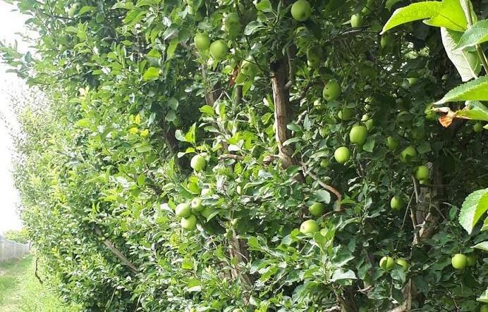 پیش بینی برداشت ۴۰ هزار تن سیب از باغ های نهاوند