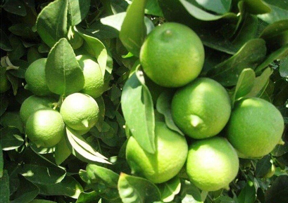 ۷ هزار تن لیمو ترش در سیستان و بلوچستان برداشت شد