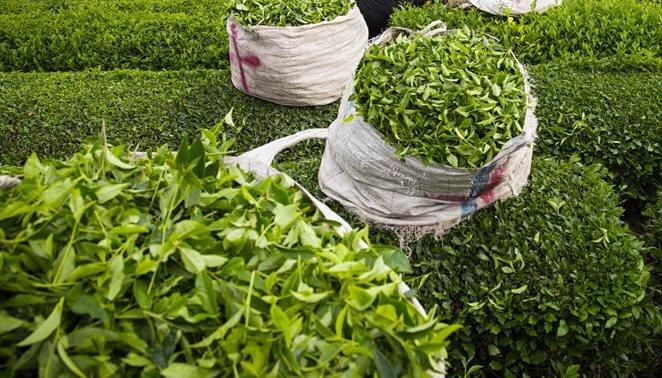 ۶ کارخانه جدید چای به چرخه تولید بازگشتند