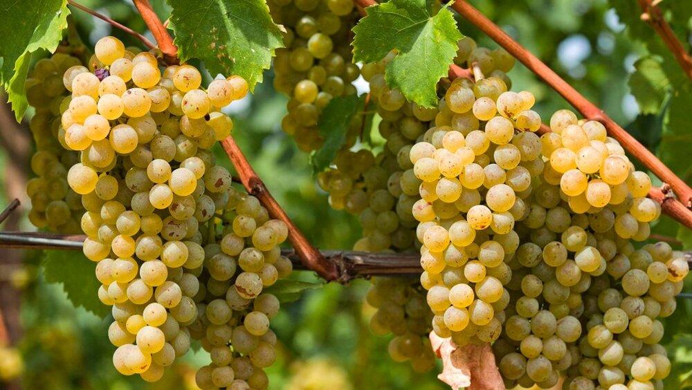 ۴۰۰ هزار تن انگور در باغات قزوین تولید میشود