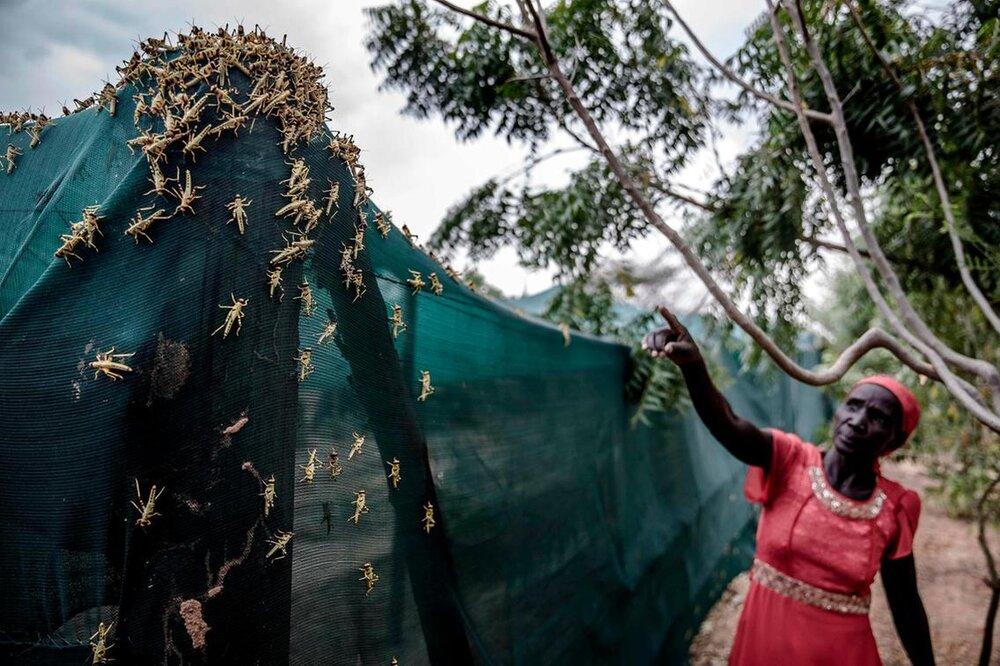 استفاده کشاورزان کنیایی از ملخهای مهاجم به عنوان کود