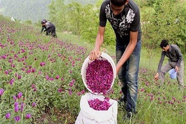 گیاهان دارویی بستر اشتغال زایی در کهگیلویه و بویراحمد است/ لزوم مدیریت روان آب ها