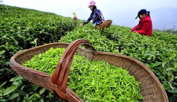 ۴۸۰۰ میلیارد ریال ارزش چای خریداری در شمال است
