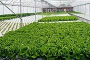 ۳ هزار و ۸۰۰ تن انواع محصولات گلخانه ای در زنجان تولید می شود