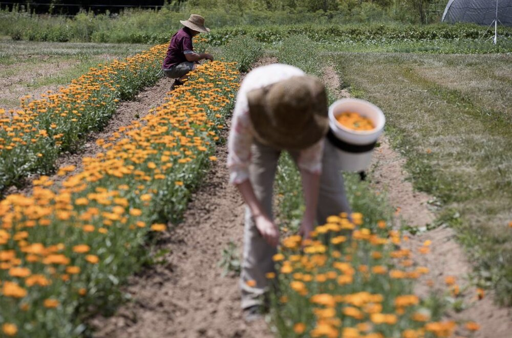 ظرفیت گیاهان دارویی همدان برجسته اما مغفول/ صنعت پولسازی که متولی ندارد